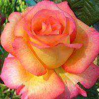 """Роза чайно-гибридная """"Ди Вельт"""""""