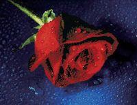 "Вышивка крестом ""Прекрасная роза"" (480х380 мм)"