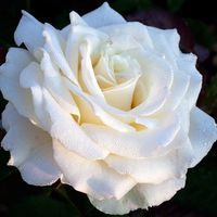 "Роза чайно-гибридная ""Тинеке"""