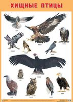 Развивающие плакаты. Хищные птицы