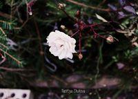 """Открытка """"Настя Жукова. Белая роза"""" (арт. 592)"""