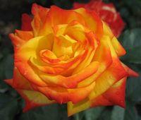 """Роза флорибунда """"Самба"""""""