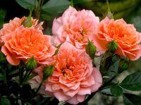 """Роза флорибунда """"Нинетта"""""""