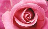 "Алмазная вышивка-мозаика ""Бутон розы"" (400х250 мм)"